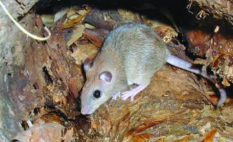 Carpentaria Rock Rat